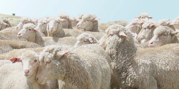 Wool is a natural fiber with incredible properties. The Responsible Wool Standard guarantees responsible sheep farming.