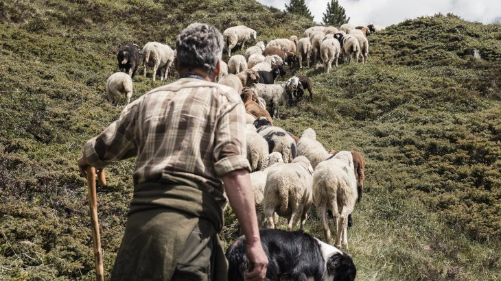 The shepherd drives the Tyrolean mountain sheep over the green slopes to the next pasture.