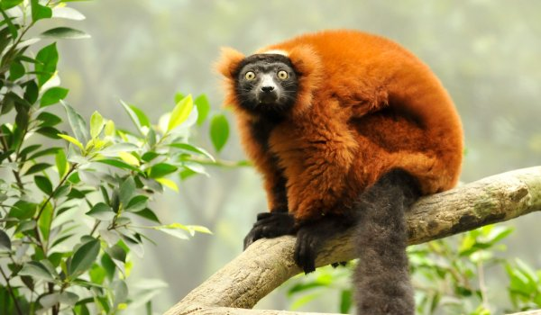 Conservation of the Silky Sifaka and Red-Ruffed Lemur, Madagascar