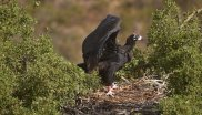 Black Vulture Recovery, South-Portugal.