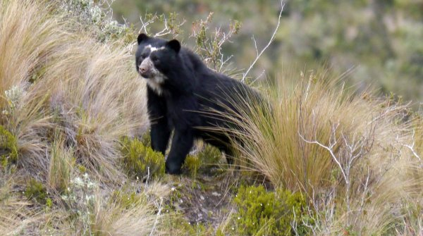 Saving the Spectacled Bear at Yanacocha Reserve, Ecuador